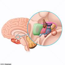 Hypothalamus, Anterior