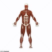 Muscle, Skeletal
