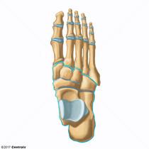 Tarsal Bones