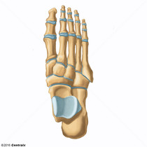 Toe Phalanges