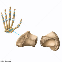 Trapezoid Bone