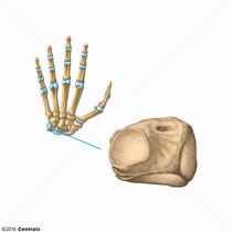Triquetrum Bone