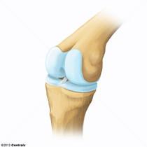 Cartilage, Articular