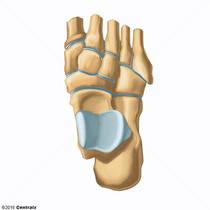 Tarsal Joints