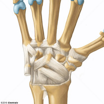 Carpal Joints