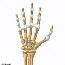 Carpometacarpal Joints