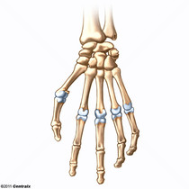Metacarpophalangeal Joint