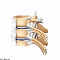 Longitudinal Ligaments