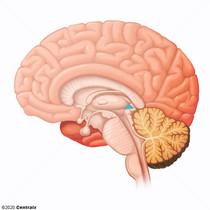 Epithalamus