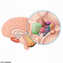 Hypothalamus, Middle