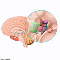 Hypothalamus, Posterior