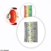Retinal Bipolar Cells