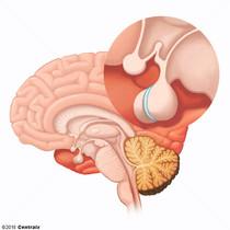Pituitary Gland, Intermediate