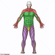 Dermatomes Posterior View