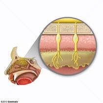 Olfactory Mucosa