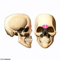 Frontal Sinus