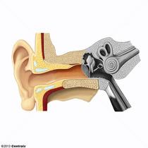 Ear, External