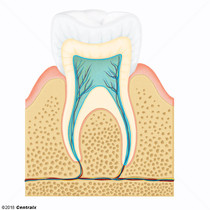 Dental Pulp Cavity