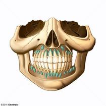 Tooth, Deciduous