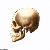 Temporomandibular Joint Disk
