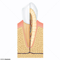 Tooth Root