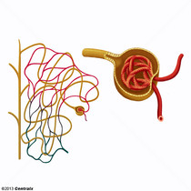 Kidney Glomerulus